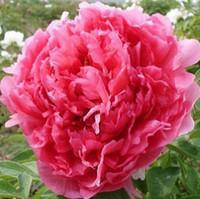 şakayık çiçek tohumları toptan satış-50 adet / grup Saksı çiçek tohumları kırmızı Şakayık Türler şakayık tohumları Saksı ağacı şakayık Ücretsiz kargo