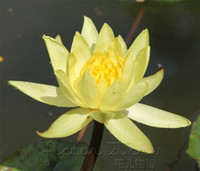 semillas de loto gratis al por mayor-ENVÍO GRATIS 20 SEMILLAS Yellow Lady Lotus Flower Seeds Gorgeous Lotus Aquatic Patio Lawn Garden bonsai plants