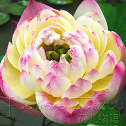 Lotus Pack NZ - Lotus Seeds - Four Color Blue Pink Gold White ,4 Pack Each Pack 10 Seeds Total 40 Flowers Seeds