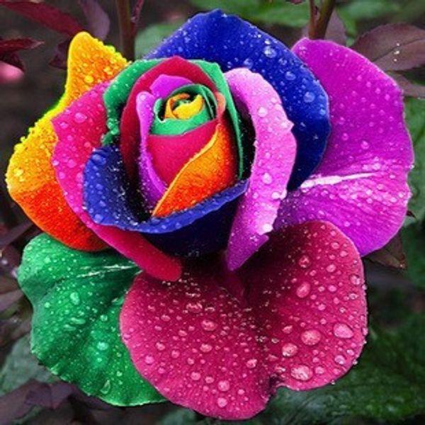 200 belo arco-íris rosa sementes multi-coloridas rosa sementes rosa sementes de flores