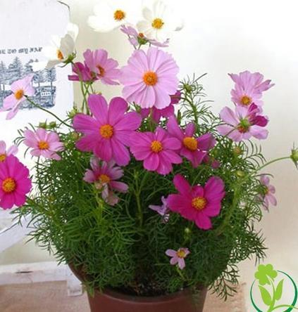 2018 dwarf cosmos seeds balcony potted flowers wholesale gesang seed 2018 dwarf cosmos seeds balcony potted flowers wholesale gesang seed sowing seeds in spring from charm007 654 dhgate mightylinksfo