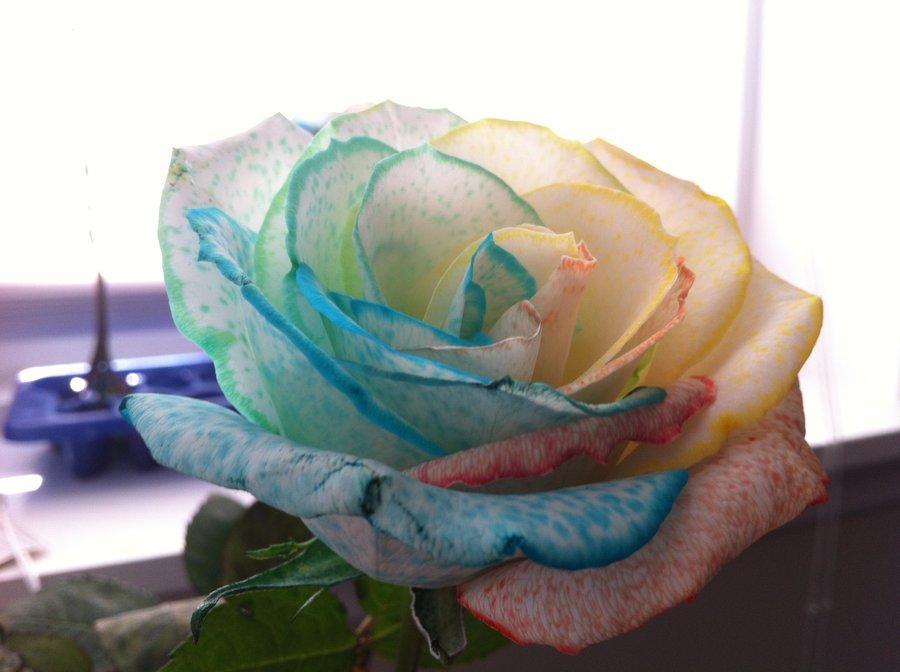 Venda quente 10 cores rose sementes roxo branco vermelho rosa amarelo verde azul planta diy home garden plant / jardim sementes