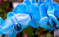 Wholesale Orchid Tree - * 5$ Free shipping * Bonsai balcony flower butterfly orchid seeds skyblue 1 pack 100 seeds AAA+