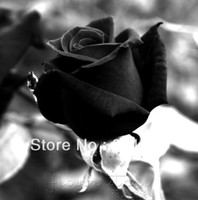 wholesale items china Canada - FREE SHIP 400 Seeds China Rare Black Rose Flower To Lover ITEM LABEL:ROSE2