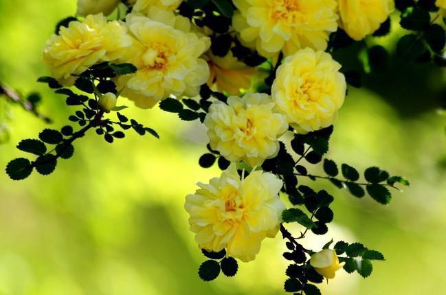 Fiori Gialli Rampicanti.Acquista Spedizione Gratuita 50 Pezzi Rampicanti Giallo Rose