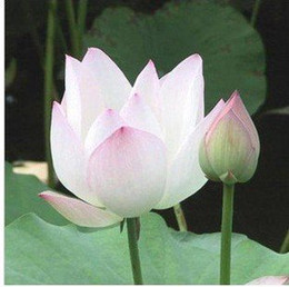 Wholesale Lotus Flowers Water - 20 Pieces  Lotus Flower Lotus Seeds Water Garden Plants Teach You How to Plant Lotus Flower Free Shipping