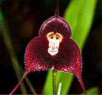 cara de mono orquídeas al por mayor-4 colores cara de mono semillas de orquídeas hermoso jardín semillas de flores suministros para el hogar semillas de plantas fácil de sobrevivir regalo de la promoción 10 unids / lote