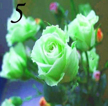 High Germination Rose Seeds Rose Flower Seeds Rainbow Rose Seeds for Sale 1000pcs/lot RY1415