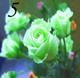 vendita di semi di rosa Sconti Semi ad alta germinazione rosa semi di fiore rosa semi arcobaleno rosa in vendita 1000 pz / lotto RY1415