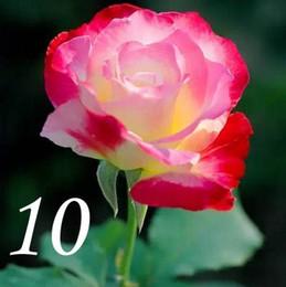 2019 semi solanum Semi di rosa a buon mercato e di alta qualità Semi di rosa gialla Semi di rosa viola per giardino 200pcs / lot RY1413