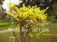 Wholesale Good Effect Herb Weeping Forsythia