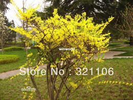 2019 bonsai di acero rosso giapponese Commercio all'ingrosso - 100 Forsythia piangente di erba di buona efficacia ~~~ Trasporto libero !!