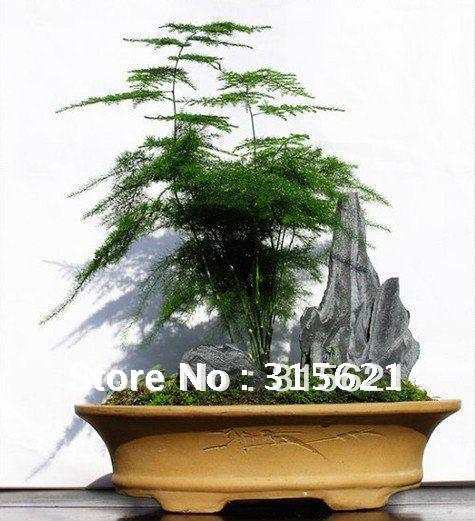 bonsai asparagus fern seeds small bamboo home garden table green plants seeds free shiping from 301 dhgatecom