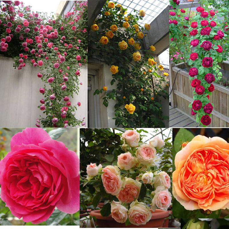 2018 Crown Red Climbing Rose Climbing Roses Chinese Rose