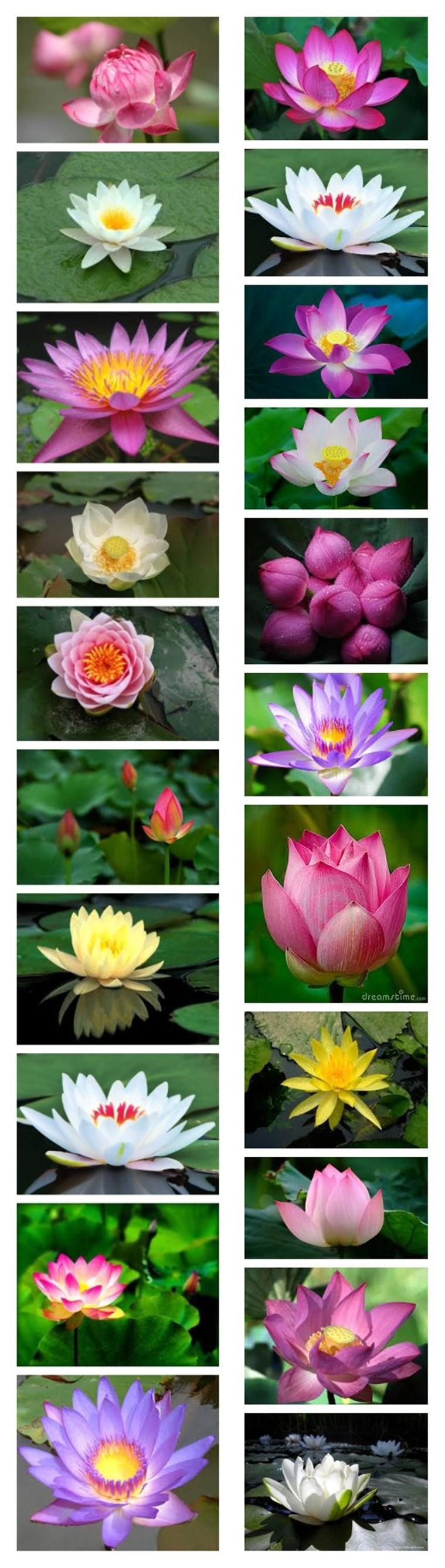 Online cheap lotus flowerlotus seedswater garden plantsteach lotus morphological characteristics of what how to grow izmirmasajfo