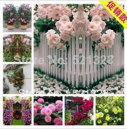 Wholesale 1lot Pc - Climbing plants Spend climbing roses Seed Potted flower 1lot 100 piece,5 piece Variety,each of Variety 20 pcs Free shipping F289