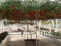 Wholesale Italian Seeds - 50 Pcs ITALIAN TREE TOMATO Seeds 'Trip L Crop' Seeds *Comb S H Free shipping