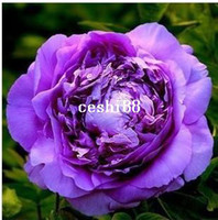 Wholesale Chinese Pink Golden Purple Duble Colors Peony Flower Seeds