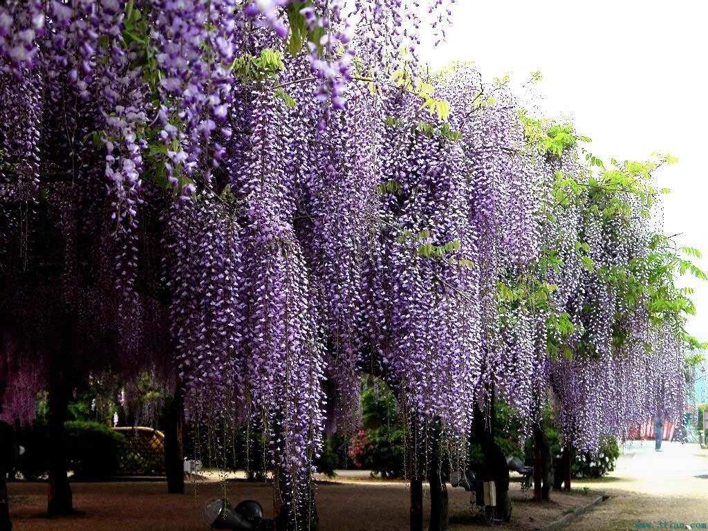 Wholesale 10 seeds blue chinese wisteria vine wisteria sinensis wholesale 10 seeds blue chinese wisteria vine wisteria sinensis flower seeds tree fast showy sku27 wisteria vine seeds online with 602piece on izmirmasajfo