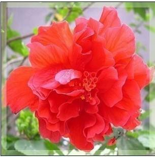 Multicolor mixed 150 Hibiscus seed 24 varieties , HIBISCUS ROSA-SINENSIS seeds Free shipping ShrubALThea Flower Hibisci