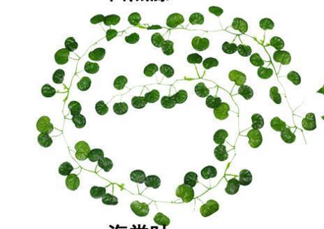 C-begonia