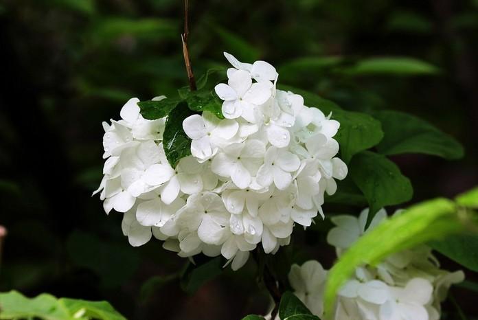 hortensia es un planta de da corto oscuro tratamiento durante ms de horas un da sobre das para formar botones florales