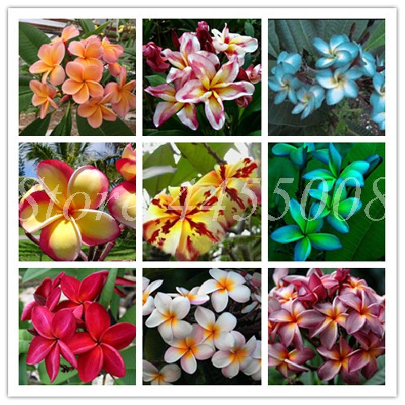 DHgate coupon: 100 Pcs/ Bag Seeds Hawaiian Plumeria Bonsai Frangipani Lei Flower Rare Exotic Egg Flower Mixed Colors Flore DIY Home Garden Planting