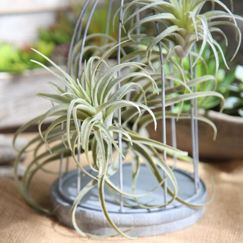 Wholesale Air Plants Succulents Buy Cheap In Bulk From China