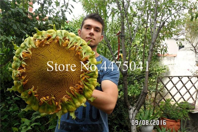 Sale! 50 Pcs Sunflower Bonsai Giant Sunflower Seeds Rare Flower Bonsai For Home Garden planting Sunflower Bonsai Birds Potted plant