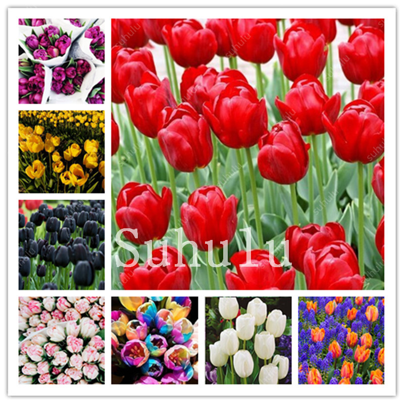 Wholesale Tulips Seeds Buy Cheap In Bulk From China Suppliers