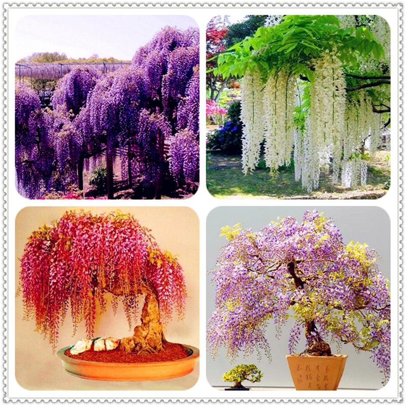 Wisteria Seeds Online Shopping Buy Wisteria Seeds At Dhgate Com