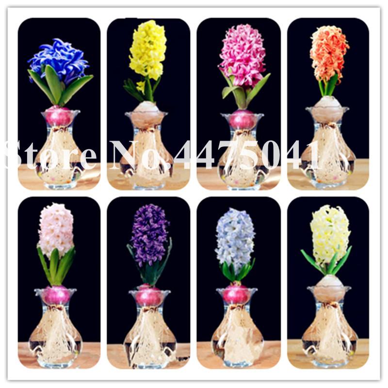 100Pcs Hyacinthus Orientalis Seeds Ornamental Flower Plant ...