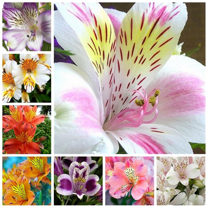 DHgate coupon: 100 pcs Rare Peruvian Lily Seeds Alstroemeria Plants Mix-Color Bonsai Beautiful Lilies Flower For Home & Garden Garden Flowers Pot