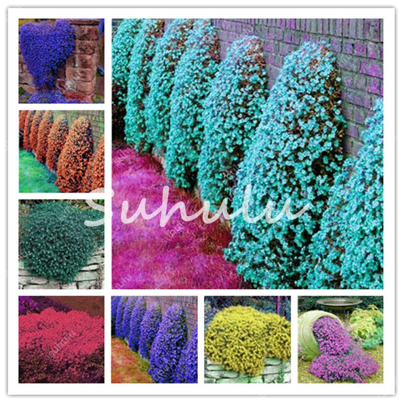 200 Pcs Aubrieta Rock Cress Cascade Purple Flower seeds Bonsai Climbing Vine Planting Perennial Ground Cover Home Garden Easy To Grow