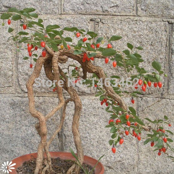 2020 Goji Berry Chinese Wolfberry Seed Vegetable Seeds Herbs Seed