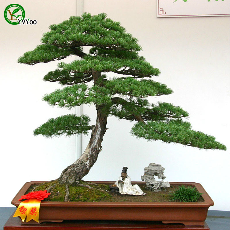Wholesale Indoor Bonsai Tree Seeds Buy Cheap In Bulk From China Suppliers With Coupon Dhgate Com