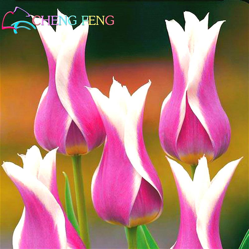 50Pcs Black-Purple Tulip Bulbs Root Flowers Balcony Perennial Home Garden Plants