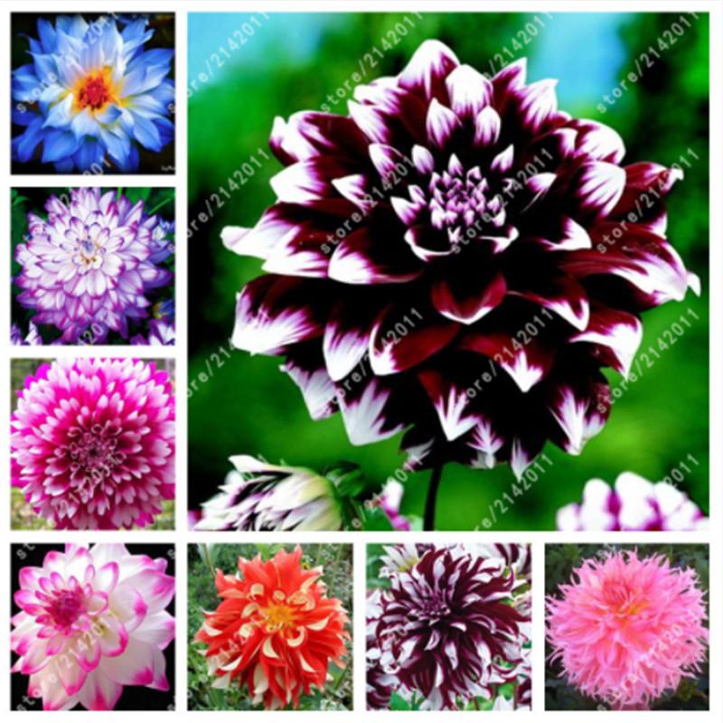 100 piezas Venta caliente Rare Black With Red Dahlia Seeds Hermosas semillas de flores perennes Dahlia Pinnata para Diy Home Garden