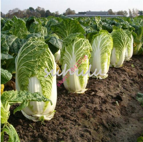 Original Pack 200 Chinese Kale Seeds Cabbage Mustard Organic