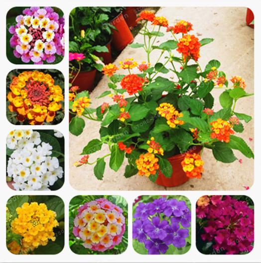DHgate coupon: 100 Pcs Lantana Camara Seeds Rare Perennial Gorgeous Beautiful Flower Bonsai Plant For Home Garden Plant