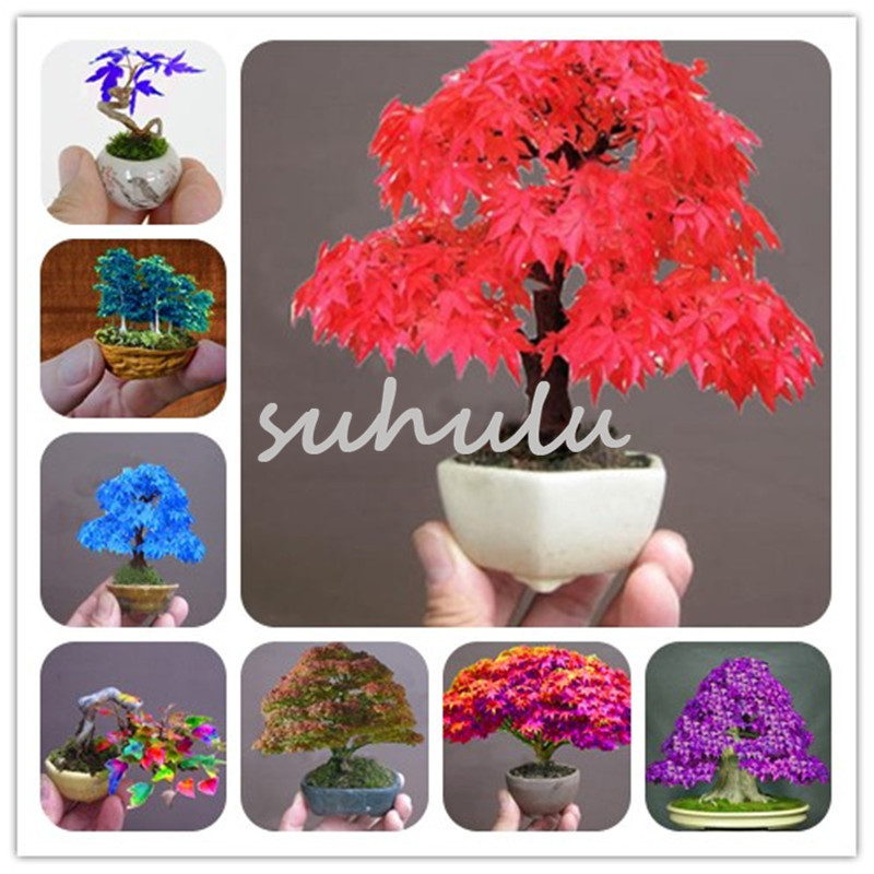Rare Colorful Mini Maple Seeds 50 Pcs/Bag Mixed Bonsai Tree Plants Pot Suit For Diy Home Garden Japanese Maple So Cute Gift For Kids