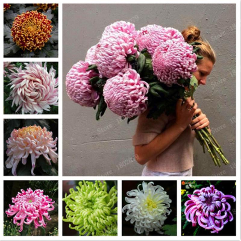 Cyclamen Vivace Hardy Fleurs Mixte Couleur Graines Jardin 10PCS Bloom Heirloom