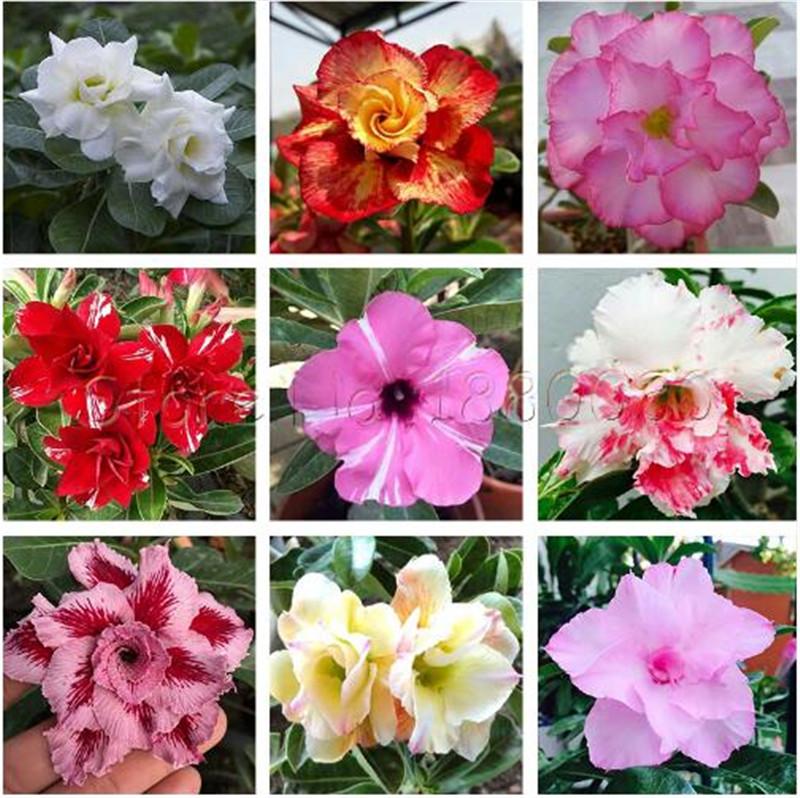 2PCS thai noir rouge Adenium Obesum Graines de fleurs rares Desert Rose Bonsai plantes