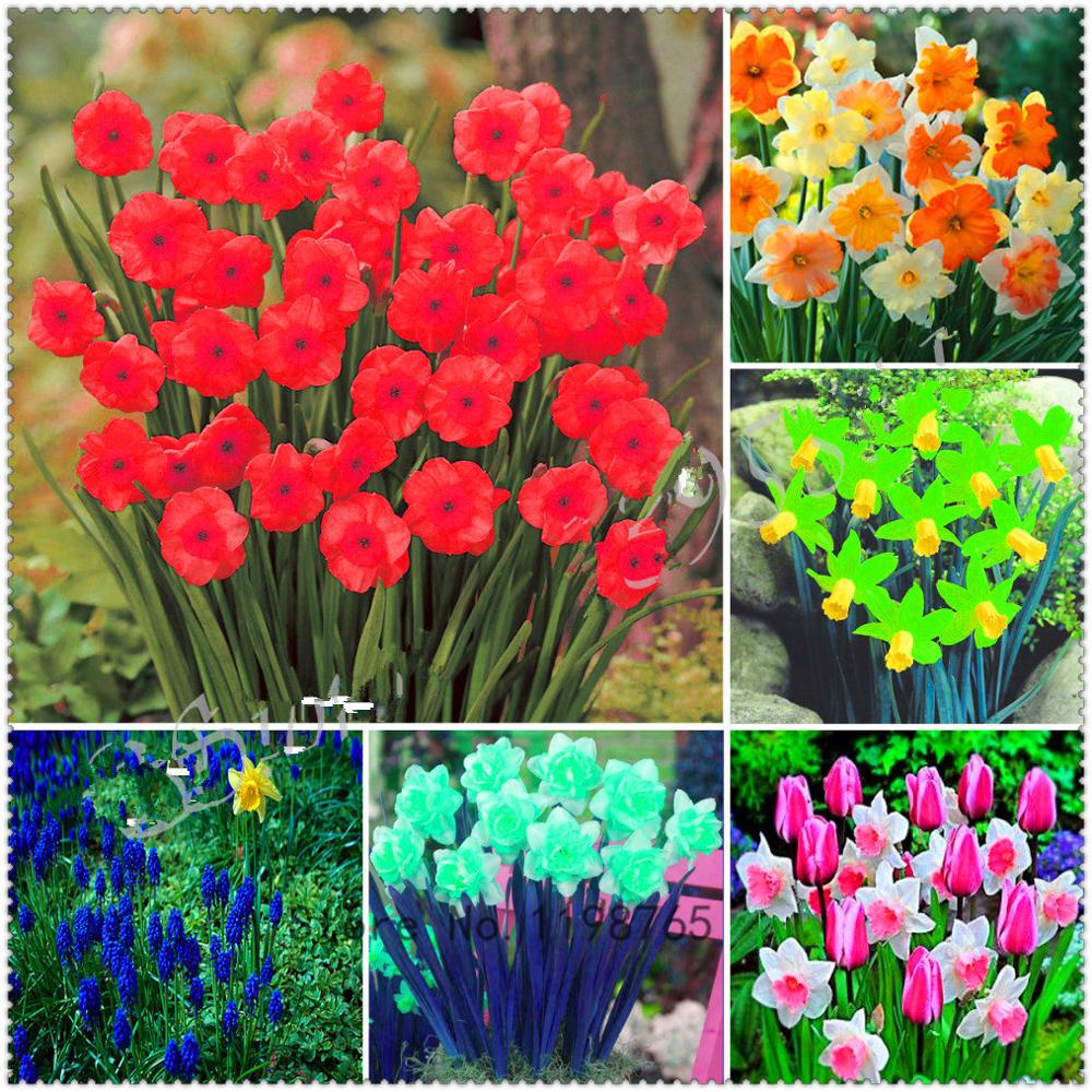 100Pcs White Chinese Daffodil Petals Flowers Seeds Bonsai Narcissus Plants For A