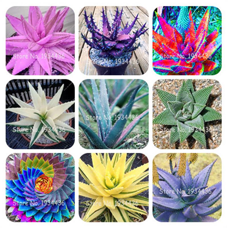 semillas de maceta de agave de flores de balc/ón de bonsai para plantas en macetas de jard/ín 50 piezas de semillas de agave de plantas suculentas 20