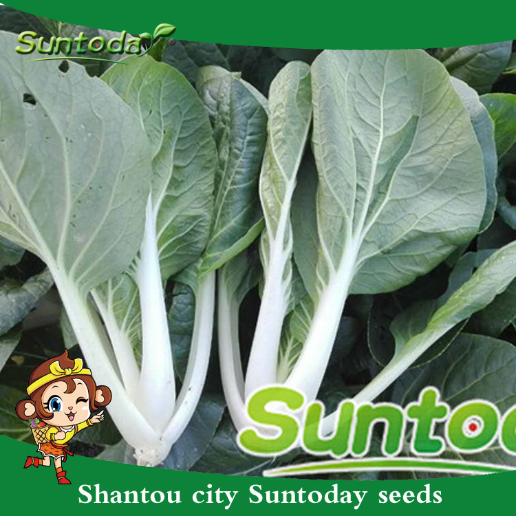 Chinese Cabbage 500 Seeds Heirloom Variety Bok Choy Canton Pak Choi