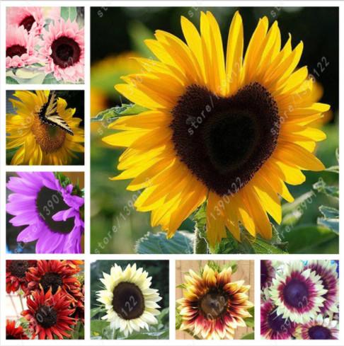 30 pcs/bag sunflower seeds,sunflower seeds for planting,bonsai flower seeds,10 colours,Natural growth for home garden planting