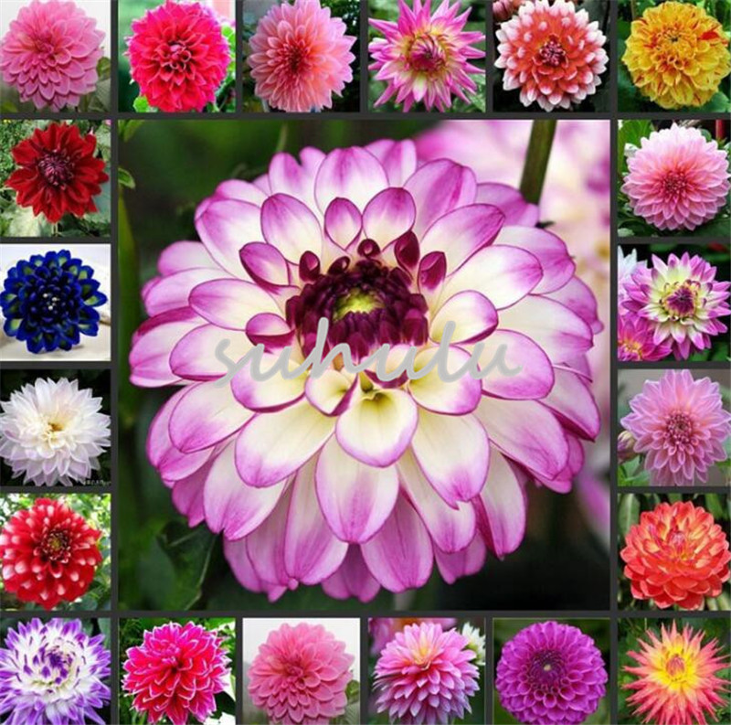 DHgate coupon: 200 Pcs/Bag Dinner Plate Rainbow Dahlia Flower Dahlia Seeds Charming Bonsai Flower Seed So Fragrant And Beauty High Germination Garden Plant
