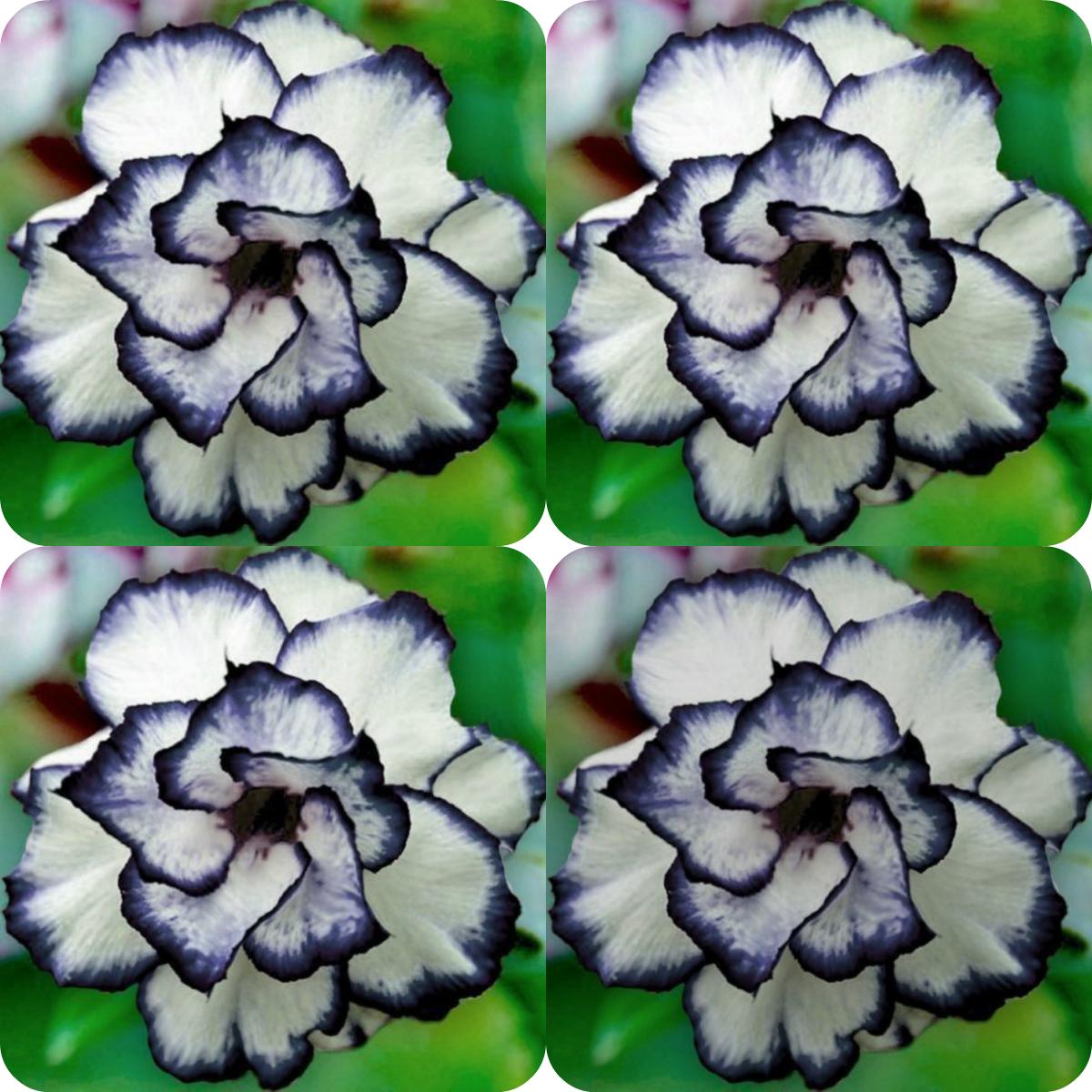 Fiori Perenni Da Balcone 100 pezzi rare nero bianco desert rose semi adenium obesum fiore perenne  piante esotiche semi di fiori bloom balcone giardino giardino