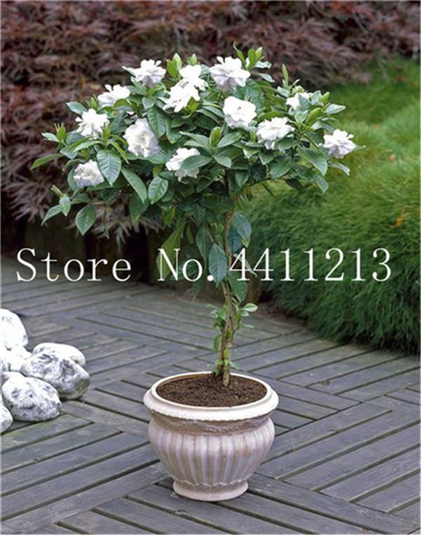 DHgate coupon: 100 pcs/bag Rare Bonsai plant seeds Jasmine flower white jasmine bonsai fragrant plant arabian jasmine bonsai plant home garden Easy to Grow
